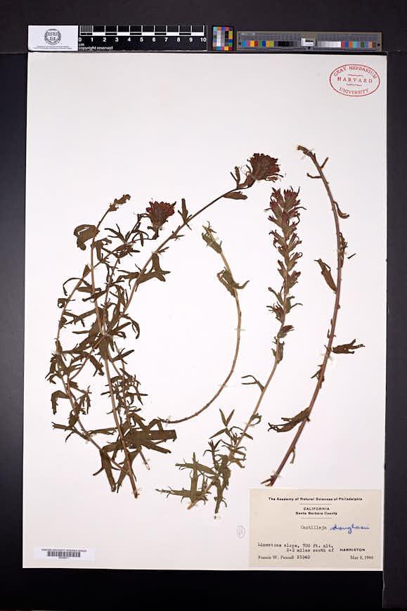 Castilleja affinis image