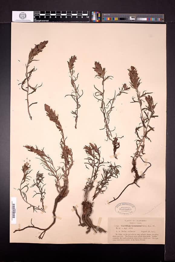 Castilleja arachnoidea image