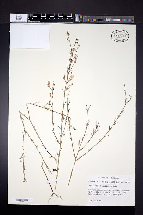 Agalinis obtusifolia image