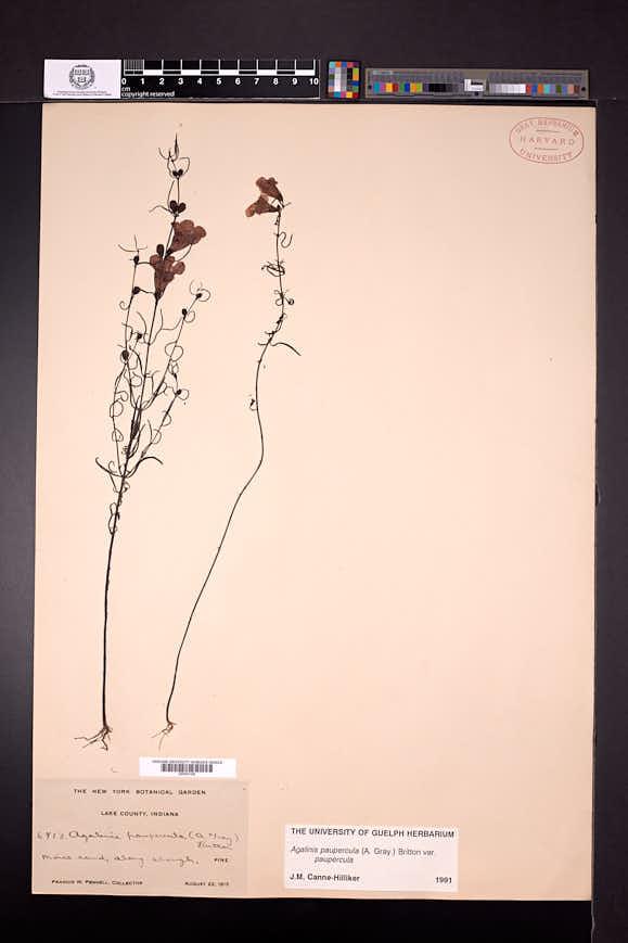 Agalinis paupercula image