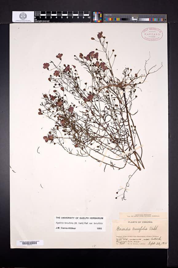 Agalinis tenuifolia image