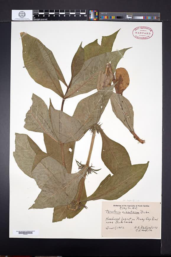Triosteum aurantiacum image