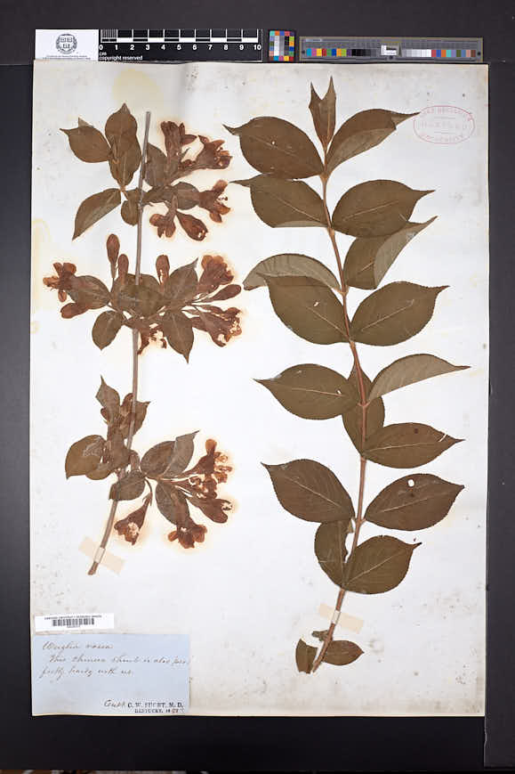 Diervilla florida image