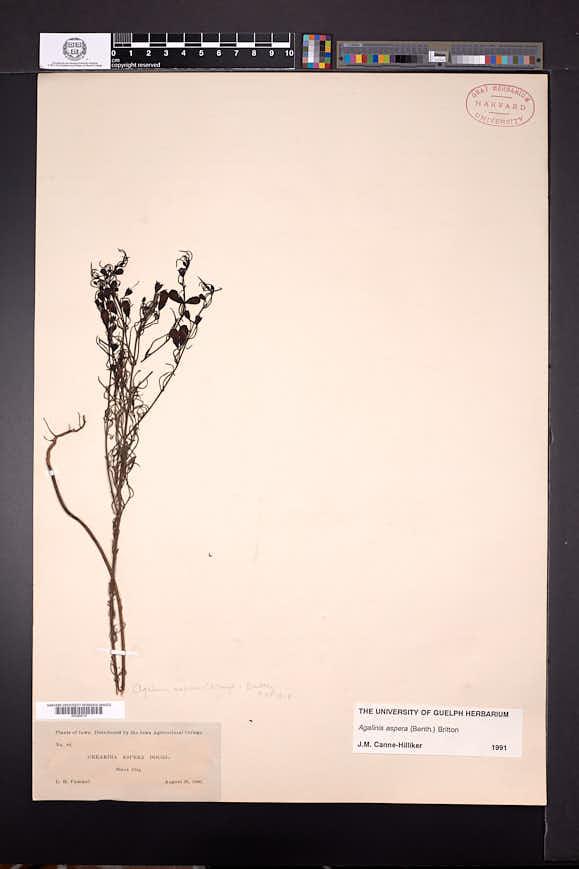 Agalinis aspera image