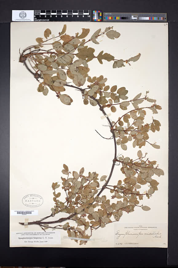 Symphoricarpos hesperius image