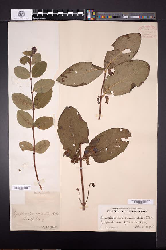 Symphoricarpos occidentalis image