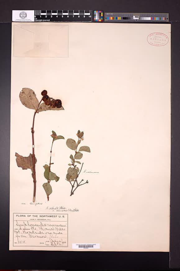 Symphoricarpos rivularis image