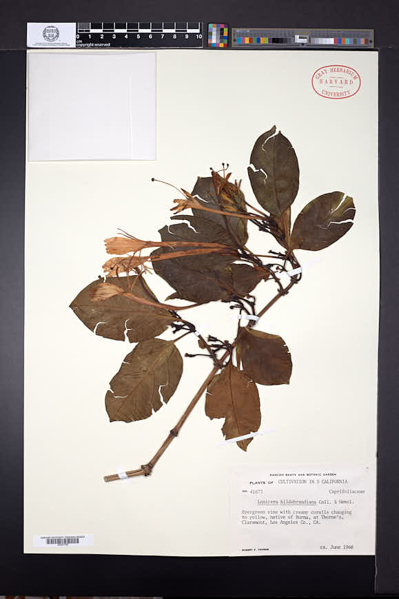 Image of Lonicera hildebrandiana