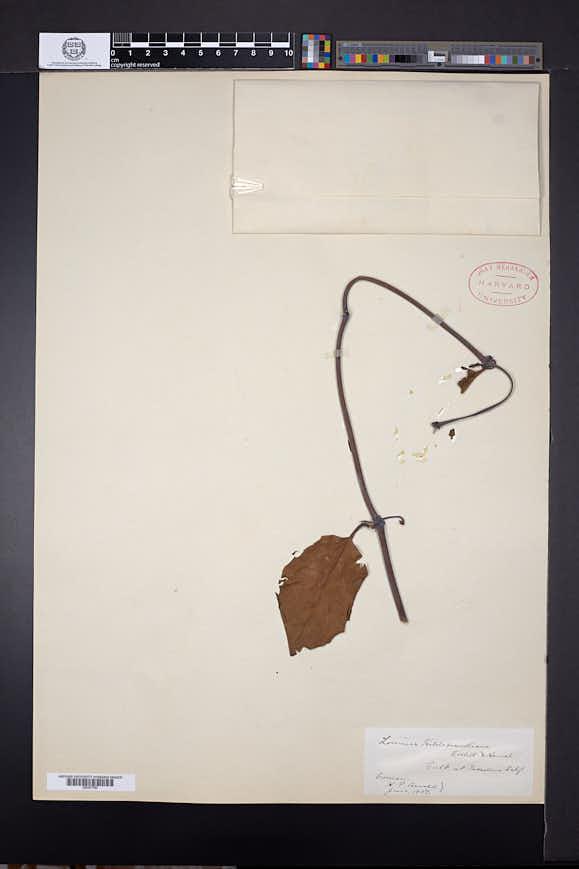 Lonicera hildebrandiana image