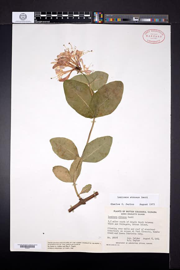 Lonicera etrusca image