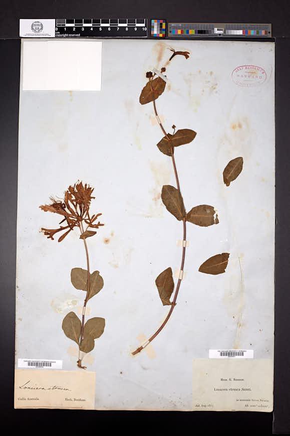 Image of Lonicera etrusca