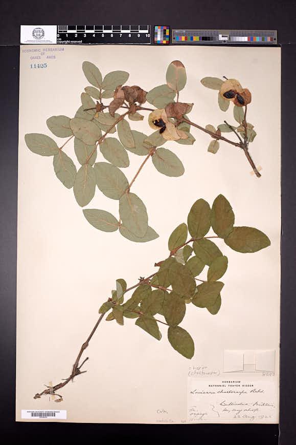 Image of Lonicera hispida