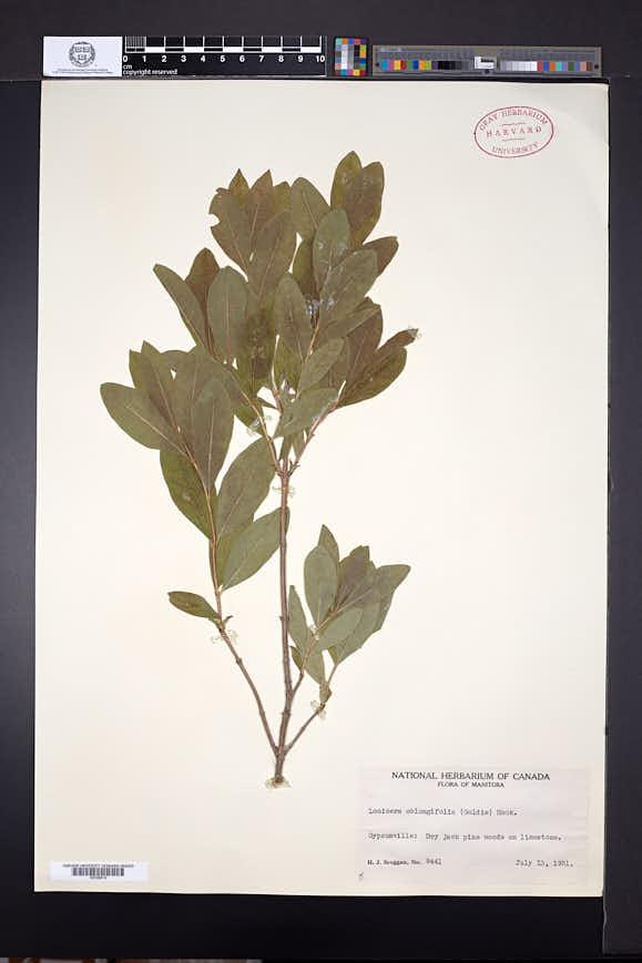 Lonicera oblongifolia image