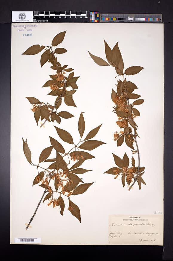 Image of Lonicera chrysantha