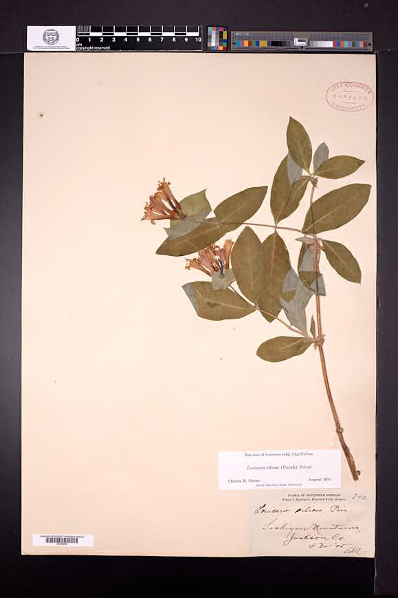 Lonicera ciliosa image