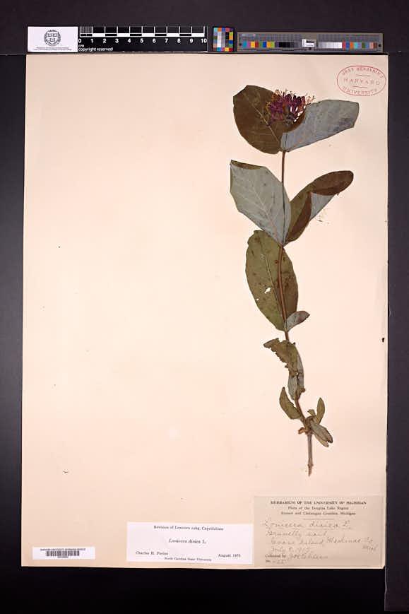 Lonicera dioica image