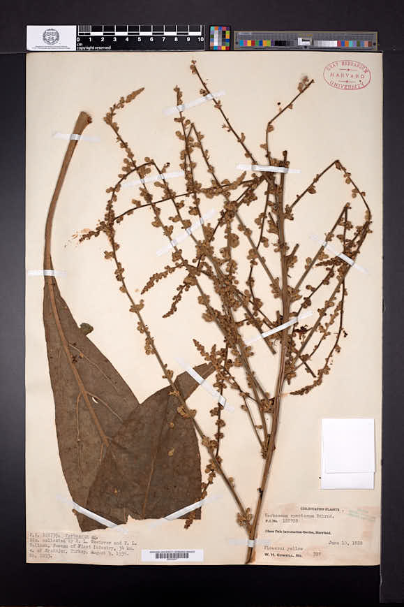 Image of Verbascum speciosum