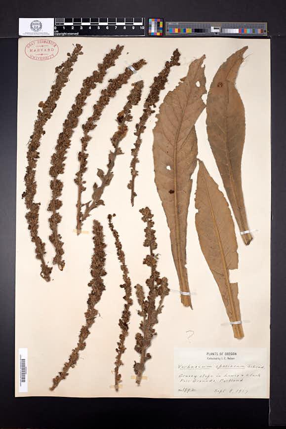 Verbascum speciosum image