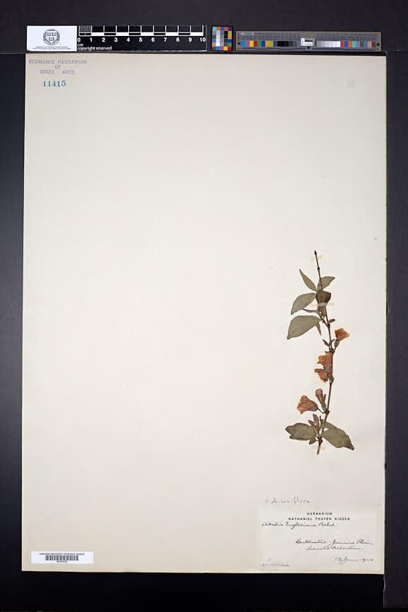 Abelia uniflora image