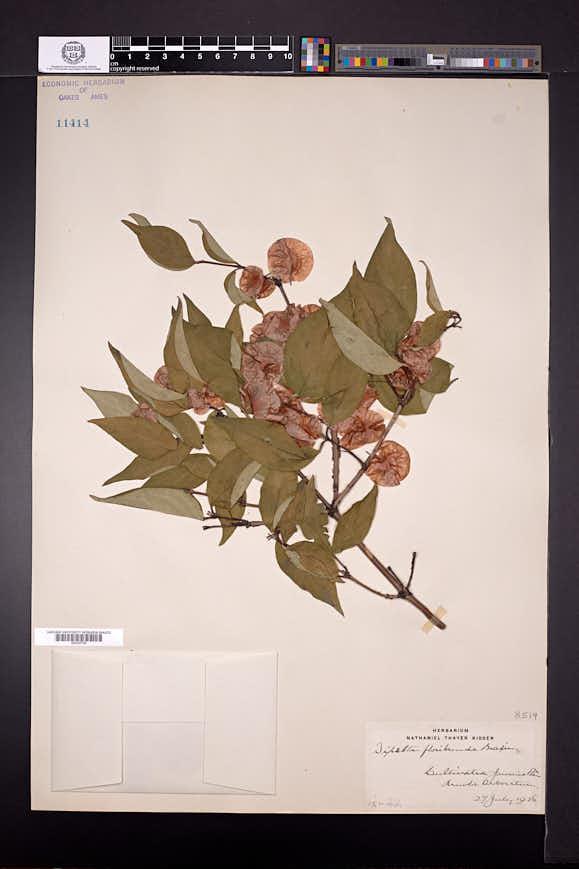 Dipelta floribunda image