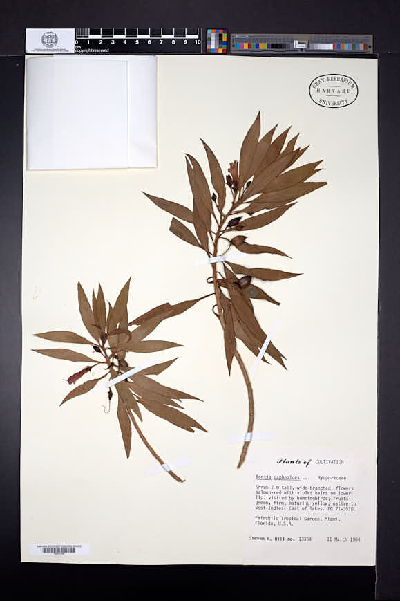 Bontia daphnoides image