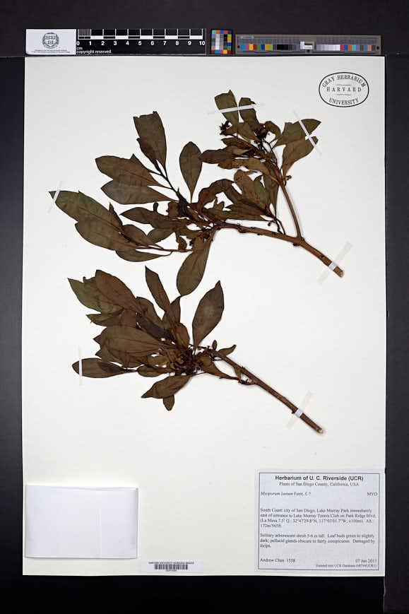 Myoporum laetum image