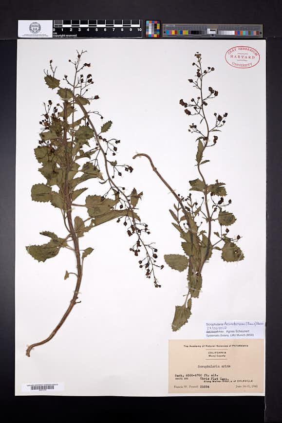 Scrophularia desertorum image