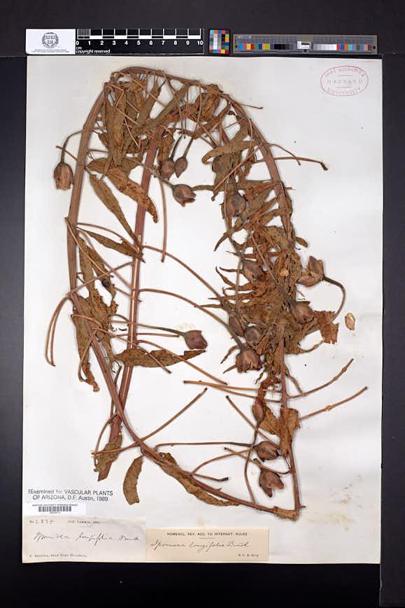 Ipomoea longifolia image