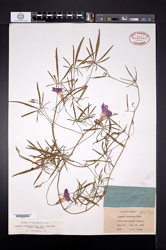Ipomoea ternifolia image