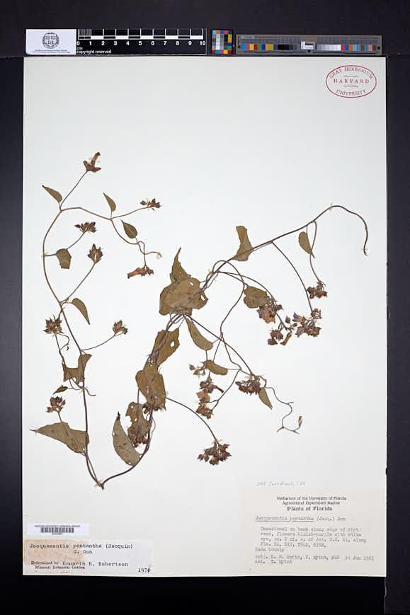 Jacquemontia pentantha image