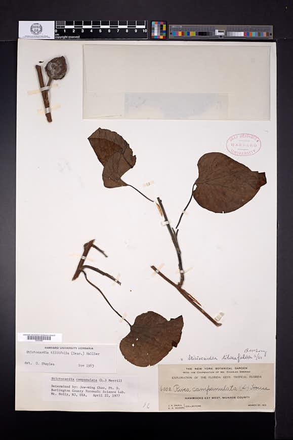 Stictocardia tiliifolia image