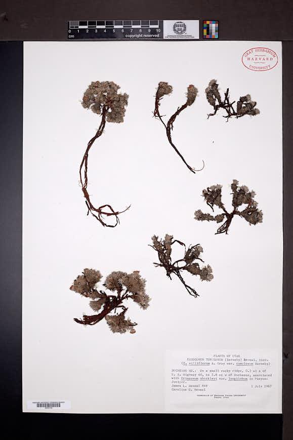 Eriogonum tumulosum image