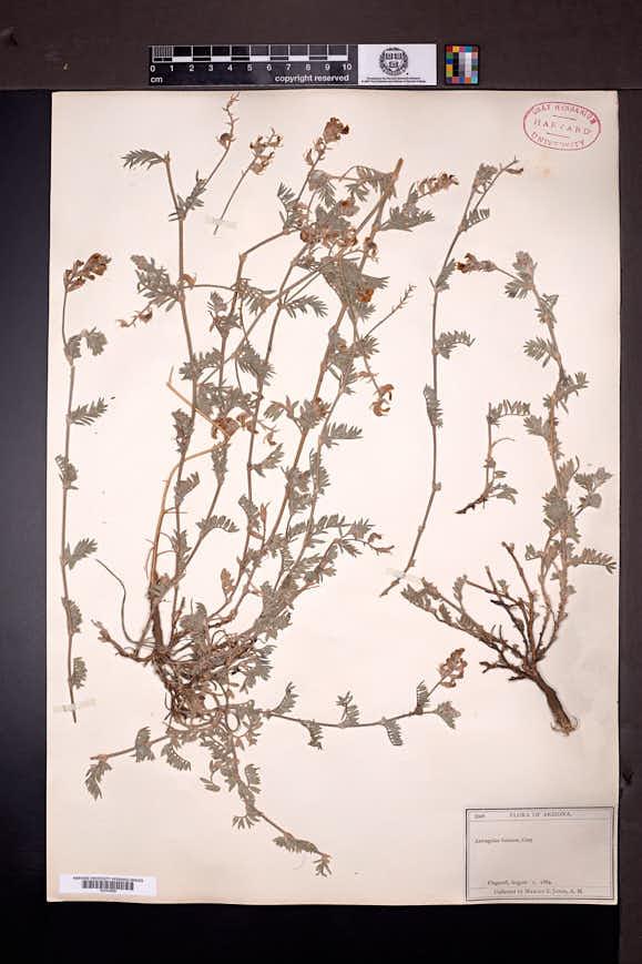 Astragalus humistratus var. sonorae image