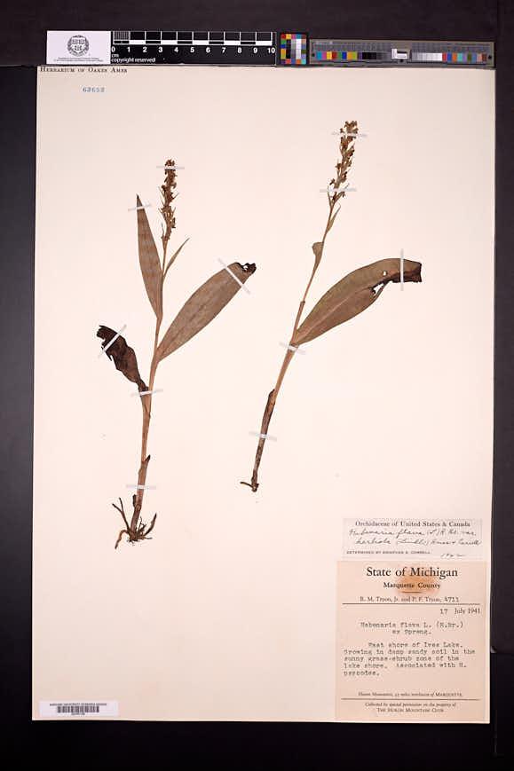 Platanthera flava var. herbiola image