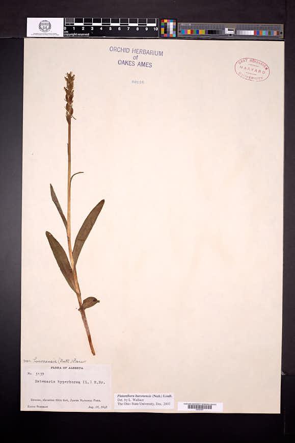 Platanthera huronensis image