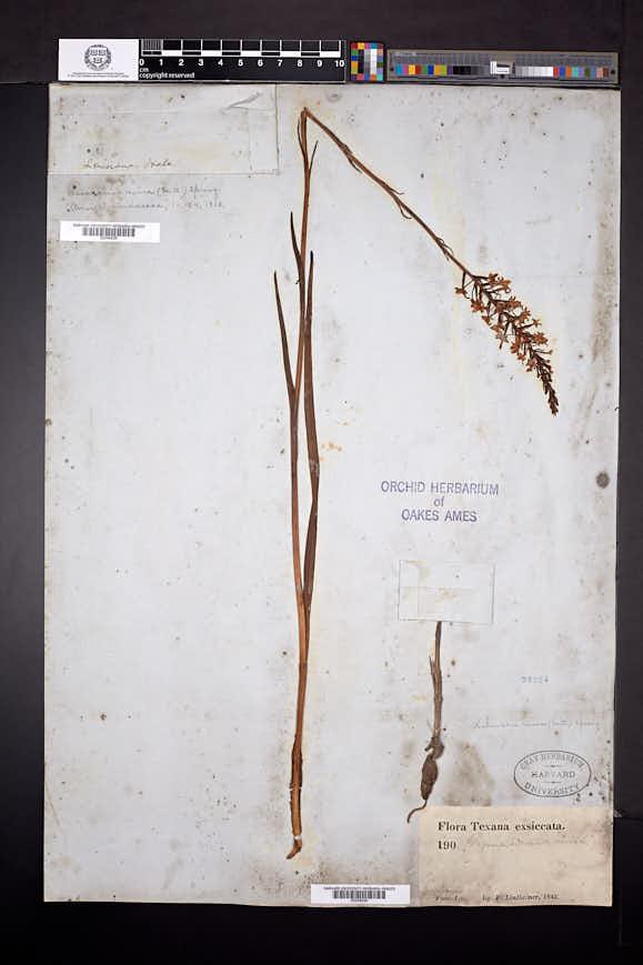 Platanthera nivea image