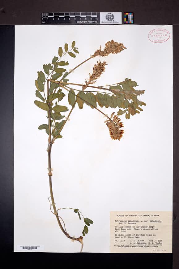 Astragalus canadensis image