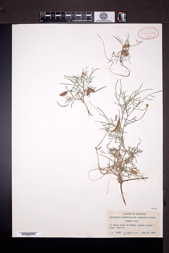 Astragalus ceramicus image
