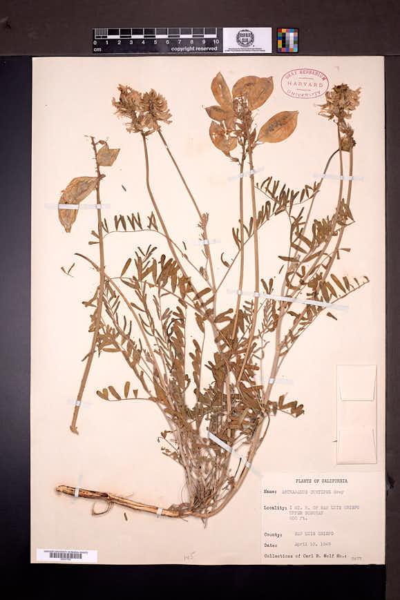 Astragalus curtipes image