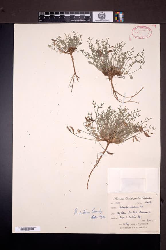 Image of Astragalus deterior