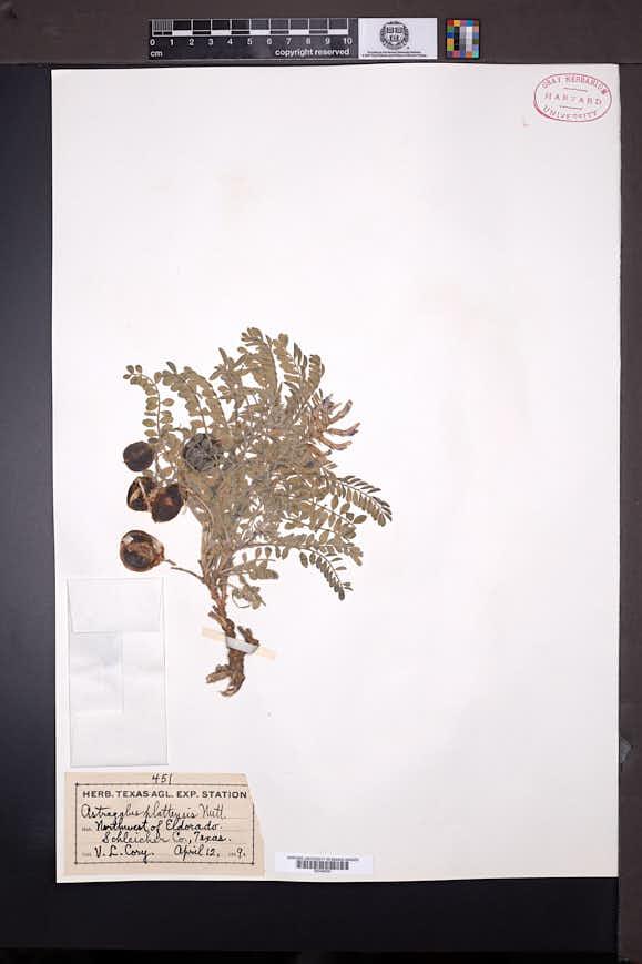 Astragalus plattensis image