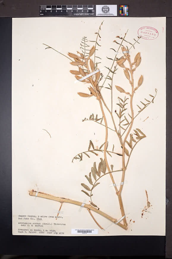 Astragalus preussii var. preussii image