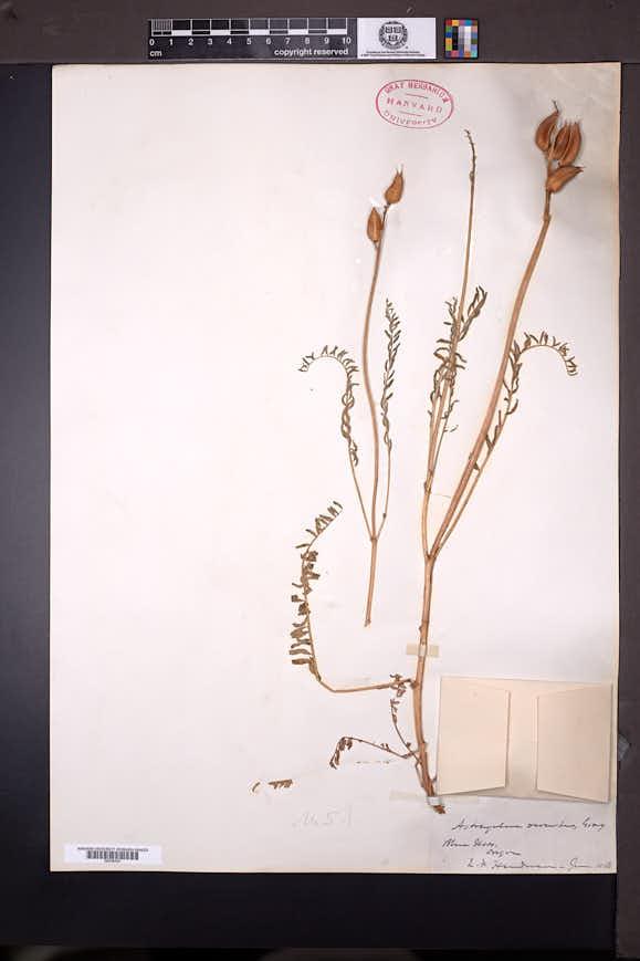 Astragalus reventus image