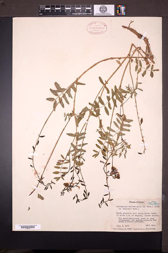 Astragalus robbinsii image