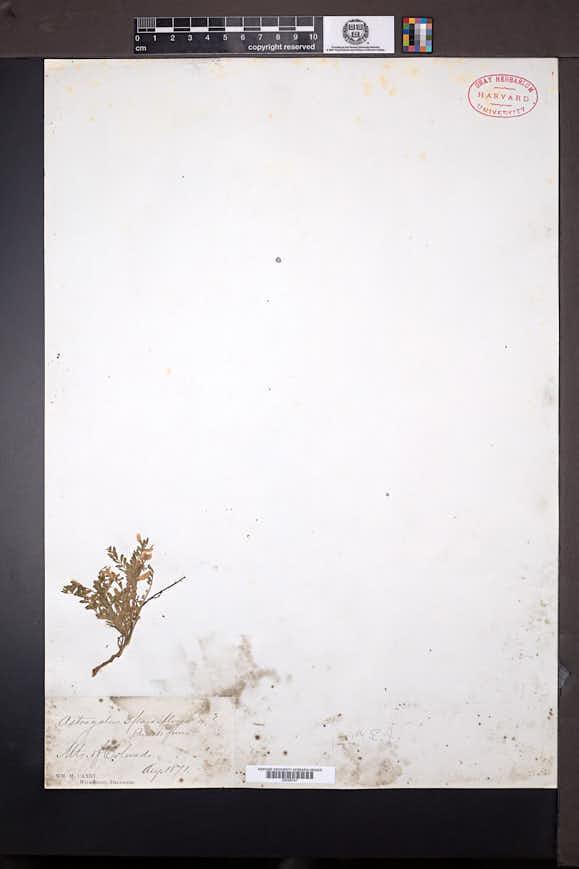 Astragalus sparsiflorus image