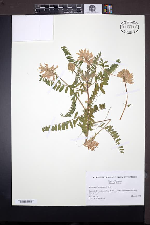 Astragalus tennesseensis image