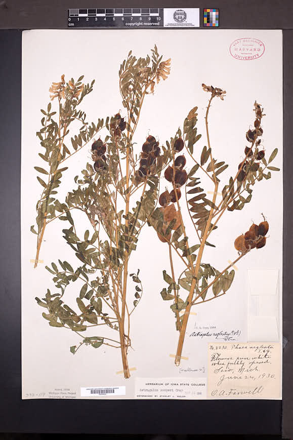 Astragalus neglectus image