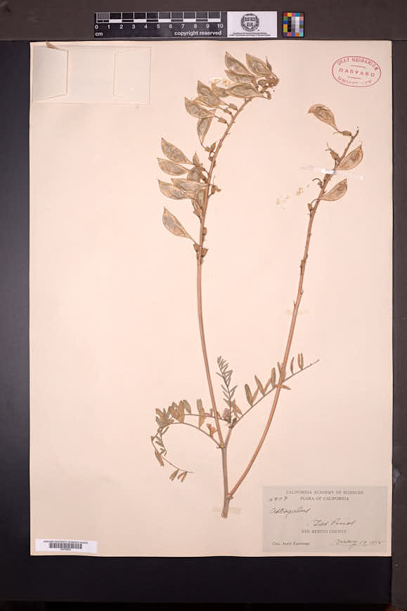 Astragalus oxyphysus image