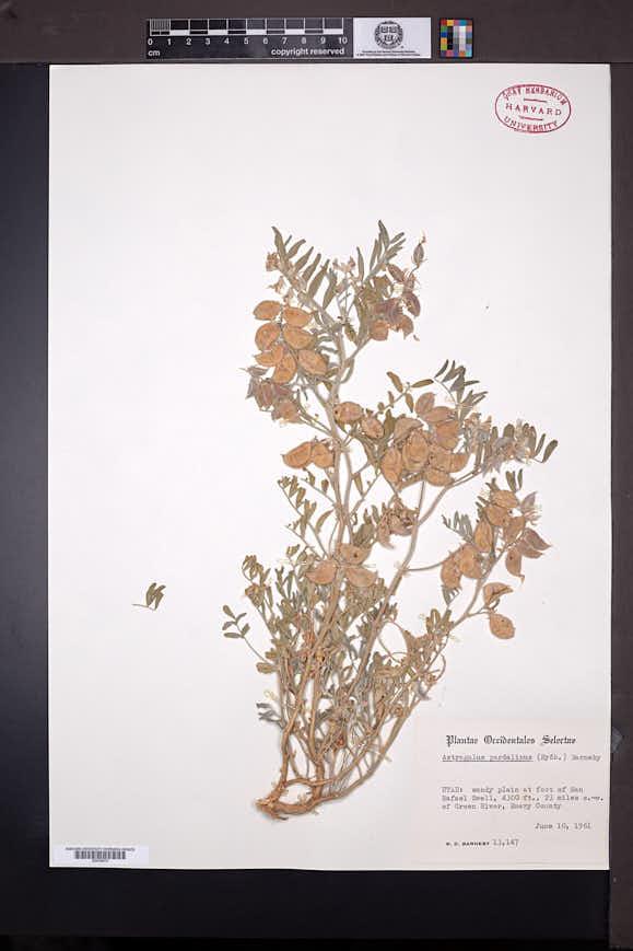 Astragalus pardalinus image