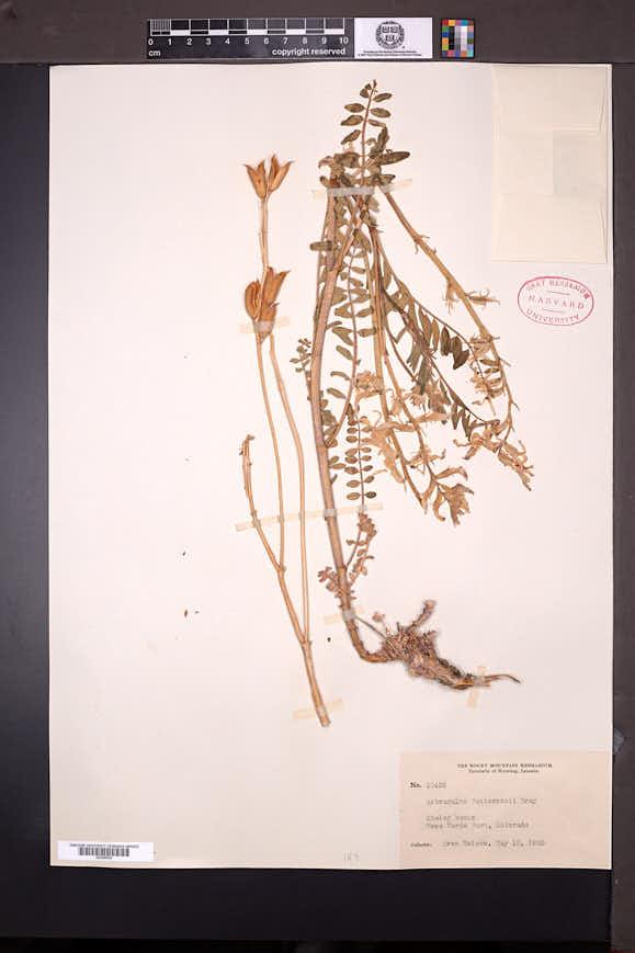 Astragalus pattersonii image